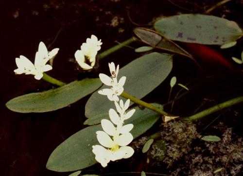 Kaapse waterlelie (2 planten vijverklaar, in mand geleverd)