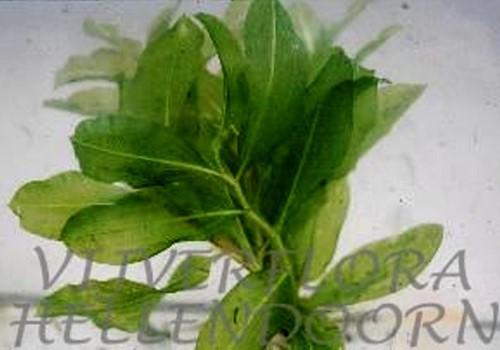 Glanzend fonteinkruid (4 planten vijverklaar, in mand geleverd)