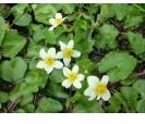 Witte dotterbloem